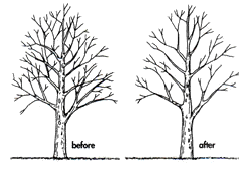 crown thinning
